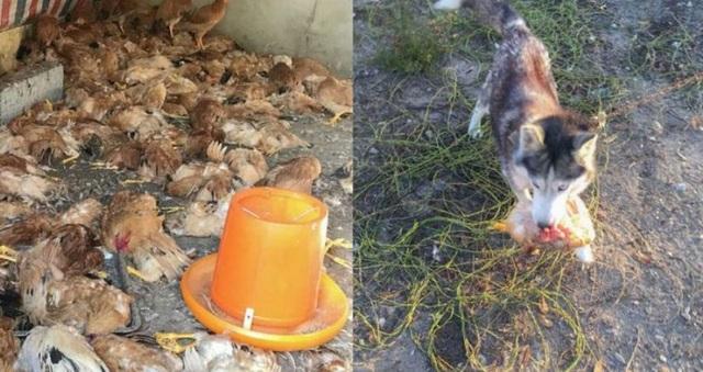 Cả đàn gà đã bị chó Husky sát hại