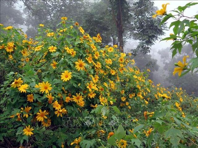 Chiêm ngưỡng rừng hoa dã quỳ Ba Vì đua sắc - 1