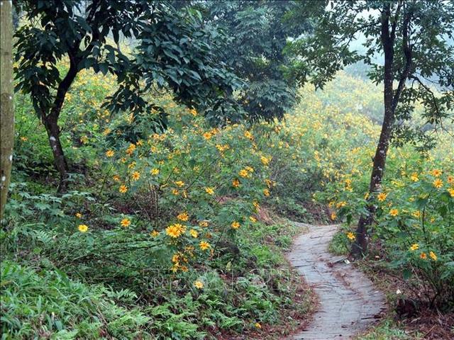 Chiêm ngưỡng rừng hoa dã quỳ Ba Vì đua sắc - 2