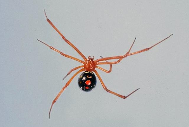 Điểm danh những loài nhện độc nhất thế giới có khả năng gây chết người - 4