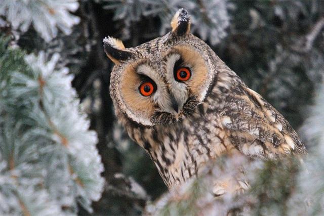 Loài chim cú tai dài ở Kikinda, Serbia, nổi tiếng khắp thế giới