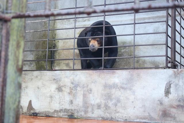 Cá thể gấu chó 16 tuổi được nuôi nhốt tại Lâm Đồng