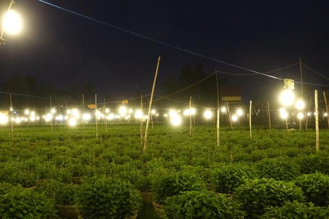 Thủ phủ hoa cúc khu vực miền Trung rực sáng ánh đèn điện vào ban đêm.