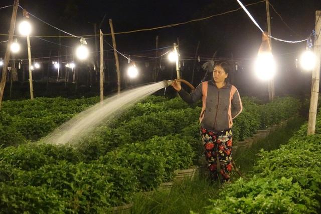 Ánh đèn điện kích thích hoa cúc phát triển vào ban đêm, giúp cây hoa phát triển đúng ý định của người nông dân.