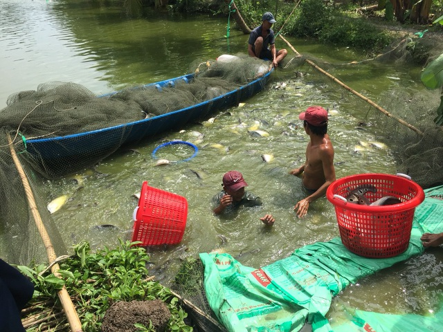 Thu hoạch cá thát lát thương phẩm tại ao của gia đình anh Lâm Em.