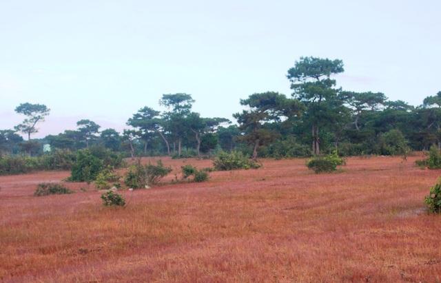 Sang đông, đồi cỏ hồng dần hiện lên dưới những gốc thông bonsai hơn 40 năm tuổi