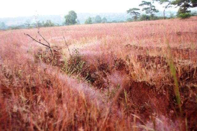 Khi du khách đến sáng sớm có thể tận mắt ngắm những ngọn cỏ hồng đang e ấp trong màn sương đêm