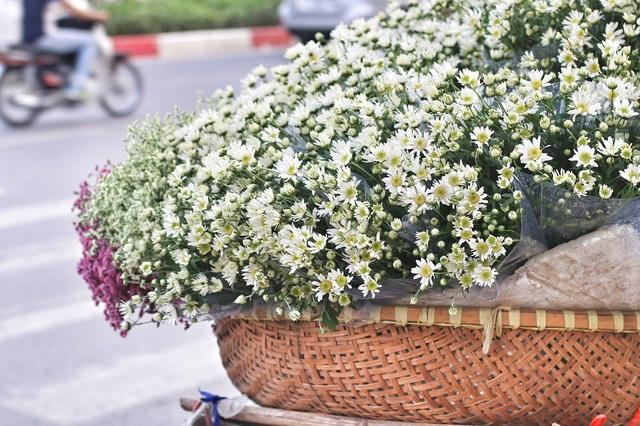 Cúc họa mi là loài hoa nhỏ, cảnh trắng, nhị vàng thường nở rộ vào giữa tháng 11 hàng năm, khi những đợt gió đông bắt đầu ùa về.