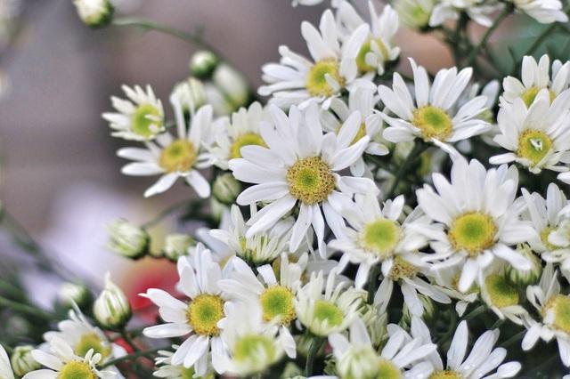 Cúc họa mi thu hút người ta bởi sắc trắng tinh khôi, giản dị mà ít loài hoa nào có được.