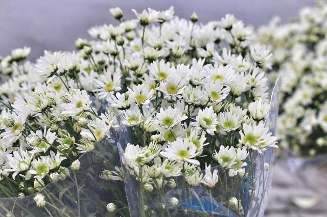 Loài hoa này được trồng và chăm sóc cả năm nhưng lại chỉ nở mỗi năm một vụ, mỗi vụ chỉ kéo dài khoảng 3 tuần.