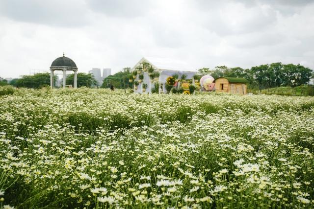 Mới chỉ là đầu mùa lượng cúc hoa mi đã nở được khoảng trên 40%, dự kiến khoảng một tuần nữa cúc sẽ nở rộ.