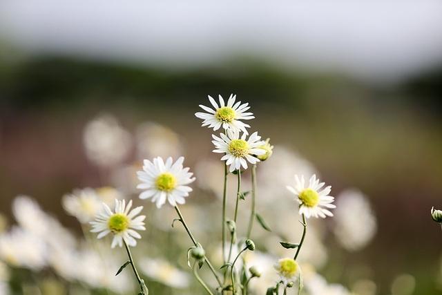 Những bông cúc họa mi nhỏ bé, trắng ngần, nhụy vàng tươi rất đẹp.