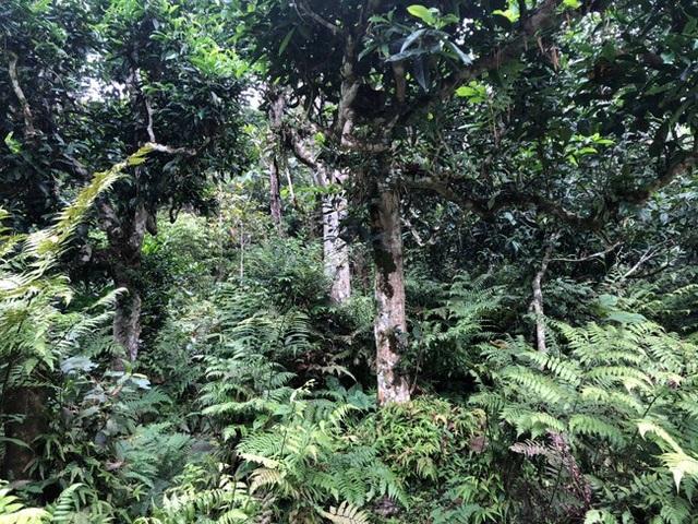 Đây là cánh rừng nguyên sinh, ít bước chân người lui tới nên các cây chè vẫn còn nguyên vẹn