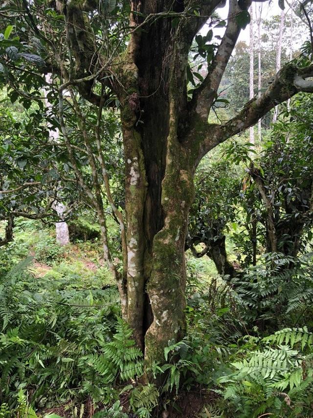Trong rừng chè trên đỉnh Hoàng Liên Sơn, nhiều thân cây bị sâu đục, há toác... nhưng vẫn trường tồn cùng núi rừng