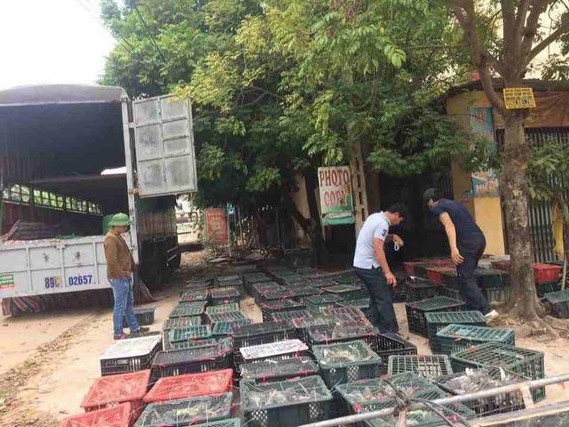 Trang trại nuôi chim bồ câu của Hồ Hữu Hải xuất bán chim thương phẩm cho thương lái với số lượng rất lớn.