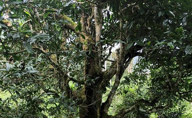 Loại trà đặc biệt Trung Quốc bán gần 40 tỷ đồng/kg, Việt Nam còn cả rừng - 3