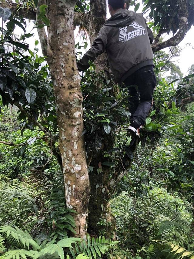 Loại trà đặc biệt Trung Quốc bán gần 40 tỷ đồng/kg, Việt Nam còn cả rừng - 7