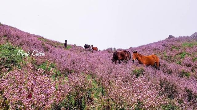Tháng 10, tháng 11 Tà Chì Nhù đẹp mê hồn nhờ những đồi cỏ tím bạt ngàn phủ kín các sườn đồi, đỉnh núi. Ảnh: Mạnh Chiến