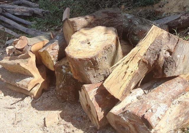 Nhiều loại gỗ có đường kính rất to.