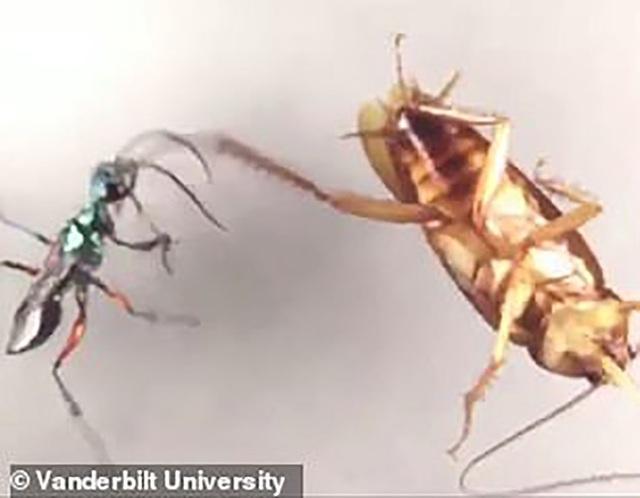 Con gián đã tung cú đá như trời giáng vào con ong bắp cày đang có ý định định tấn công.