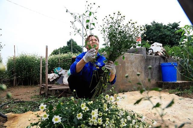 Theo chị Sơn - chủ 1 vườn cúc họa mi) cho biết: Do thời tiết không được thuận lợi nên cúc năm nay nở muộn hơn năm ngoái, giá hoa năm nay có phần cao hơn. Mặc dù vậy để có hoa lái buôn vẫn phải đặt trước mới có. (Ảnh: Quang Thái)