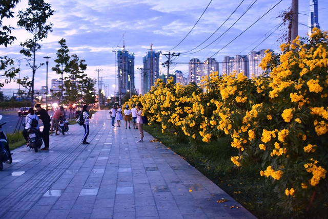 Nhiều người bị thu hút bởi màu vàng rực của hàng cây chuông vàng