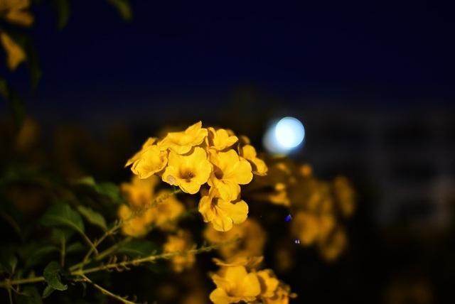 Hoa có màu vàng tươi, hình chuông trong rất sặc sỡ, mỗi khi cây ra hoa thường lá sẽ rụng dần đi, để lại trên cây toàn là hoa vàng, nhìn xa trông rất bắt mắt.
