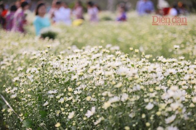 Ngoài việc thu hoạch để bán thì các chủ vườn hoa cũng tận dụng để cho khách tới tham quan chụp ảnh, với 50.000đ/người vào những ngày chính vụ như thế này thì chủ vựa hoa có thể thu về hàng chục triệu đồng mỗi ngày.