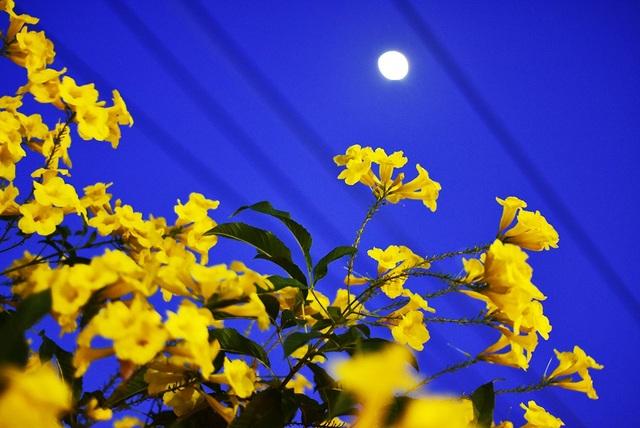 Hoa Chuông Vàng nổi bật dưới ánh trăng lên sớm