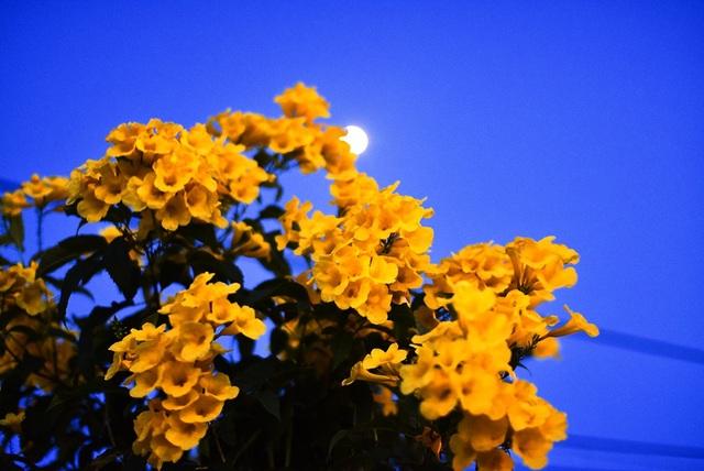 """""""Quyến luyến chuông vàng sắc thắm tươi. Ngả nghiêng trước gió mãi đua vui. Lá xanh theo điệu say sưa múa. Mê mẩn tình thơ đắm đuối người"""", hoa chuông vàng trong lời một bài thơ"""