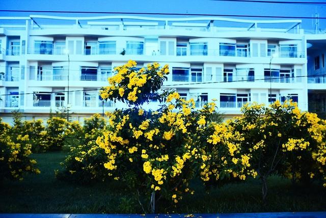 Cây chuông vàng (còn gọi là cây sò đo bông vàng) là loài cây thân gỗ nhỏ, có tốc độ sinh trưởng nhanh, hoa hình chuông màu vàng.