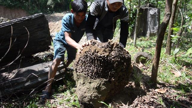 Quảng Ngãi: Vào rừng đào mối vỗ béo cho đàn gà - 2