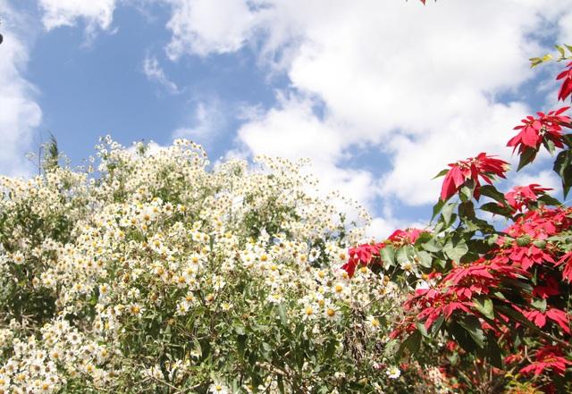 Mê mẩn với loài hoa dã quỳ trắng tinh khôi độc đáo tại Đà Lạt - 3