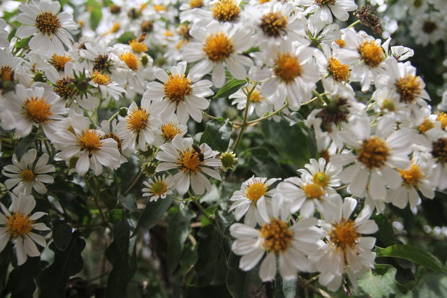 Dạ quỳ trắng thoạt nhìn giống hoa xuyến chi vì cánh hoa cũng có màu trắng, nhụy vàng, tuy nhiên bông dã quỳ trắng to hơn bông xuyến chi và nhỏ hoa dã quỳ vàng
