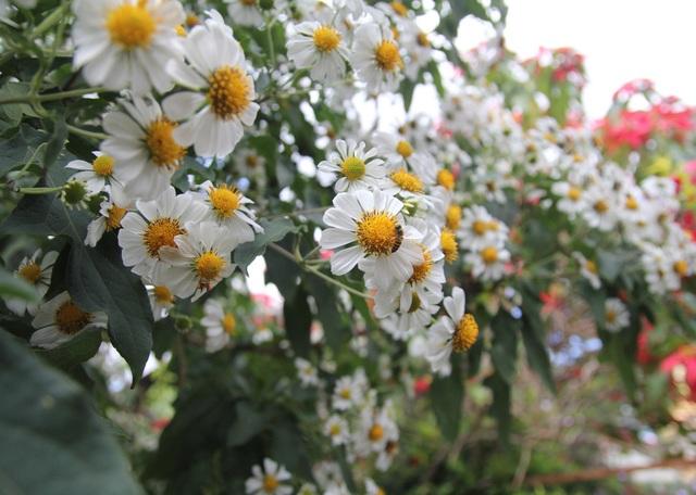 Mê mẩn với loài hoa dã quỳ trắng tinh khôi độc đáo tại Đà Lạt - 6