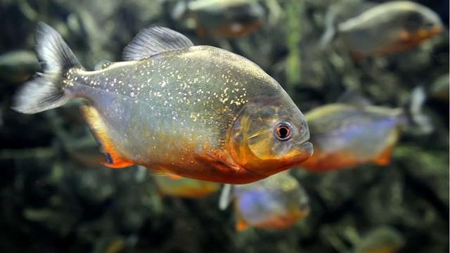 Cá piranha bụng đỏ được cho là loài bị ảnh hưởng nặng nề nhất.