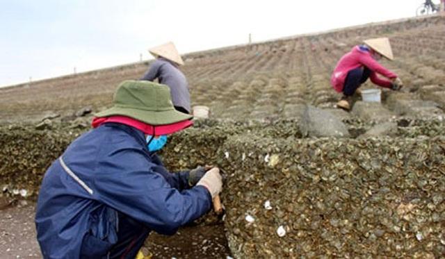 Nhiều năm nay ở khu ven đê biển Gò Công, Tiền Giang nhiều phụ nữ đã gắn bó với nghề đục hàu lấy ruột. (Ảnh: Báo Ấp Bắc)