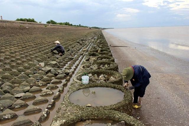 Mỗi chuyến đi đục hàu kéo dài khoảng 3 - 4 giờ, mỗi người có thể thu được khoảng 3 - 4 kg ruột hàu bán được khoảng trên 200.000 đồng. (Ảnh: Báo Ấp Bắc)