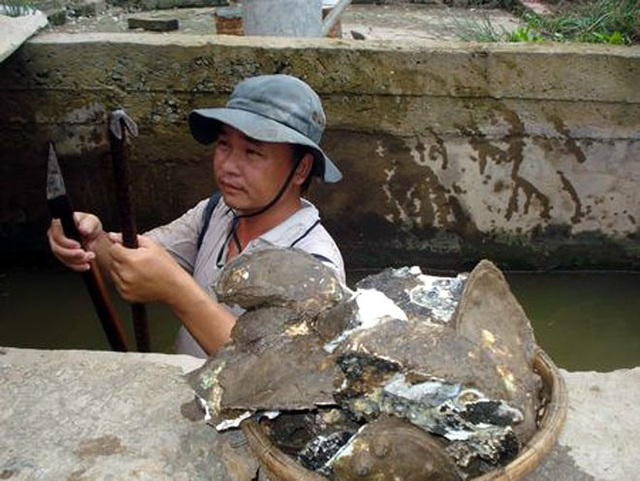 Người đàn ông săn hàu bằng cách rà theo vách cống đục bắt từng con ở Trà Vinh. (Ảnh: NLĐO)