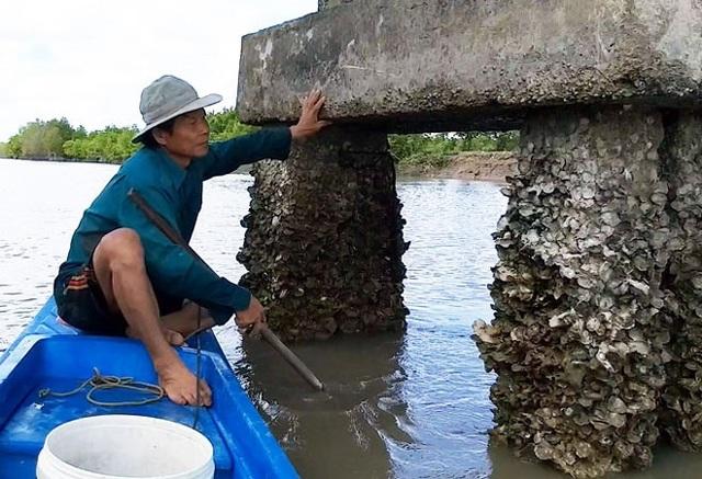 Đục hàu ven sông ở Cà Mau từ lâu là nghề đem lại nguồn thu nhập khá cho nhiều hộ dân không có đất canh tác. (Ảnh: Dân Việt)