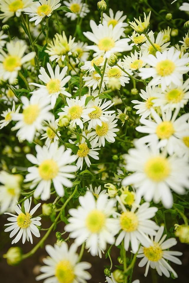 Chính vì màu trắng mong manh, tinh khiết, loài hoa này được yêu thích bởi cảm giác lãng đang, bình yên mang lại.