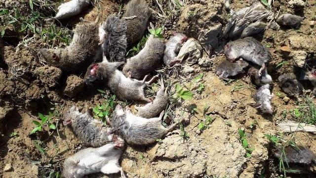 ... và chỉ sau 2 ngày đã bắt được gần 13.000 con chuột (Ảnh: V.T)