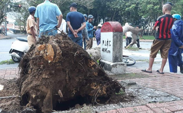 Phần rễ cây phượng đã không còn bám đất nhiều