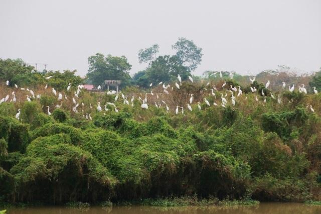 Sau hơn 10 năm, đảo chim bên sông Hoàng Long đã trở thành nơi trú ngụ ổn định của đàn chim trời hàng nghìn con.