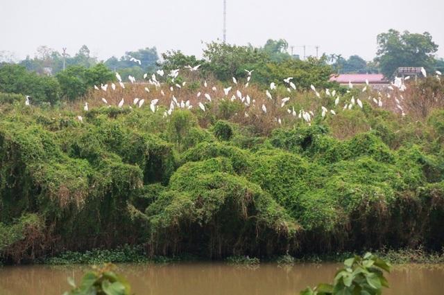 Vườn chim hàng nghìn con bên sông Hoàng Long ở xã Gia Lạc, Gia Viễn, Ninh Bình.