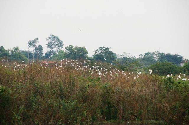 Chim cò đậu trắng xóa trên các ngọn cây.