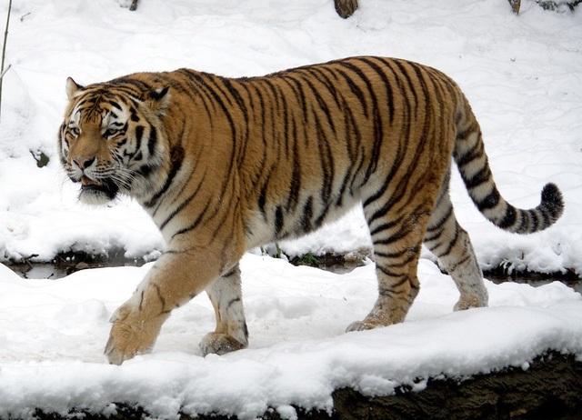 Một con hổ vùng Siberia