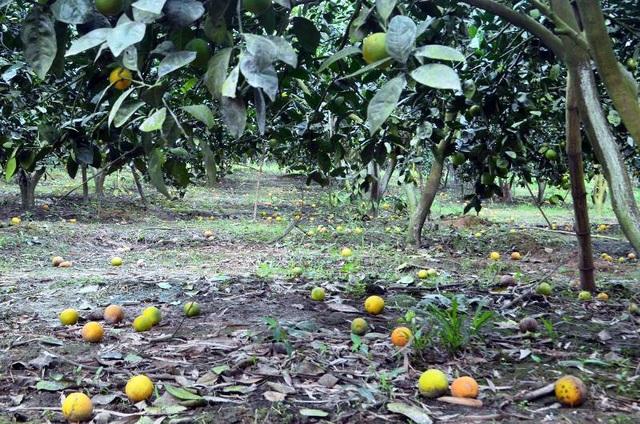 Người dân không khỏi xót xa trước cảnh cam đã đến mùa thu hoạch nhưng rụng đầy vườn.
