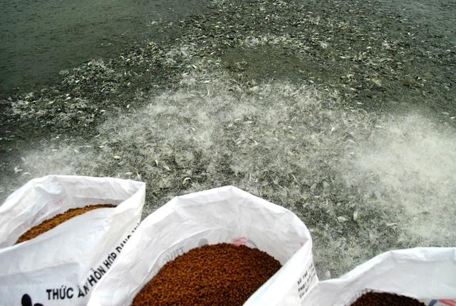 An Giang là tỉnh được Bộ NN&PTNT chọn làm thí điểm triển khai giống cá tra ba cấp cho khu vực ĐBSCL