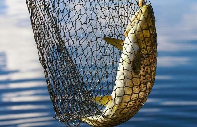 Navico từng là đại gia số 1 ngành cá tra trước khi để tuột thị phần vào tay Vĩnh Hoàn (VHC), Hùng Vương (HVG)